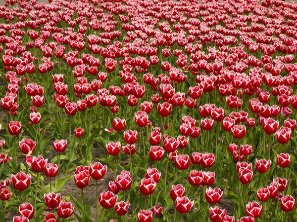 Tulips. thumbnail