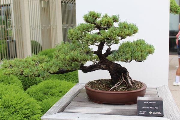 Pinus parviflora thumbnail