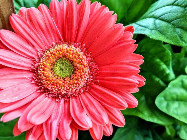 Gerbera Daisy  thumbnail