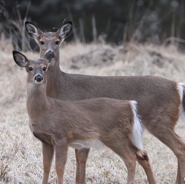 Double deer stare-down  thumbnail