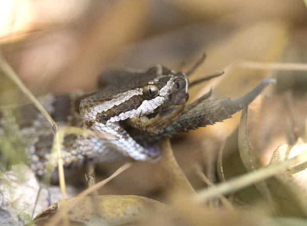 Southern Pacific Rattlesnake eating fence lizard thumbnail