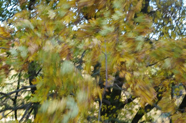 Oak leaves in an autumn windy day thumbnail