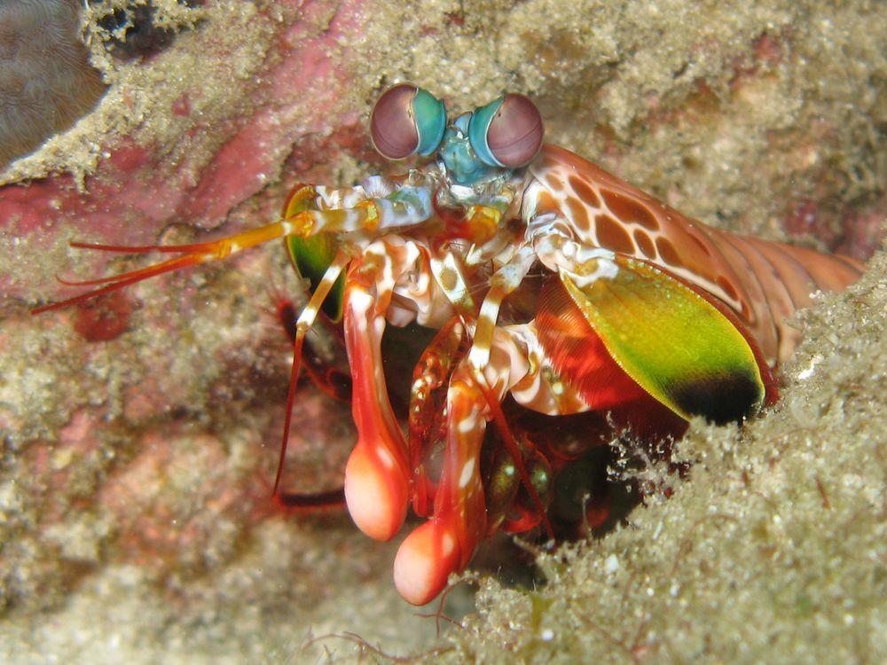 Closeup of a stomatopod crustacean