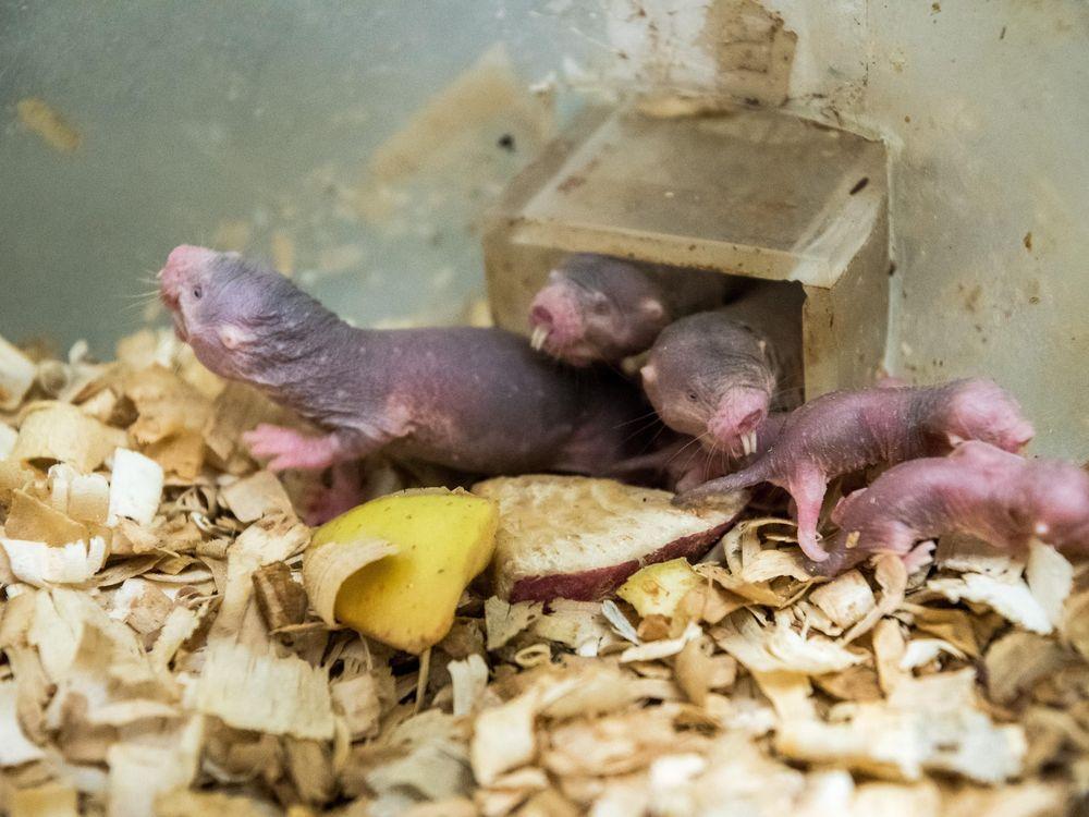 naked-mole-rat.zp174550 (1).jpg