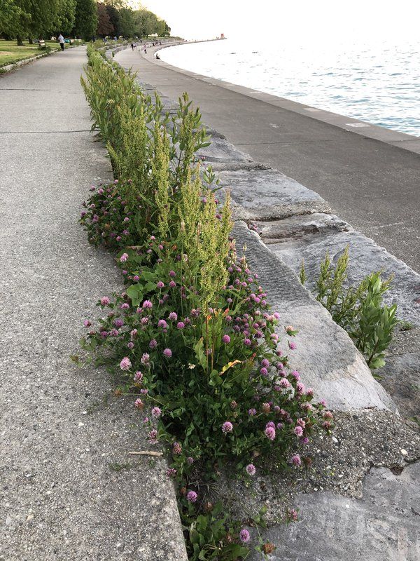 Thigh high clover outside Foster Beach on Lake Michigan in Chicago thumbnail