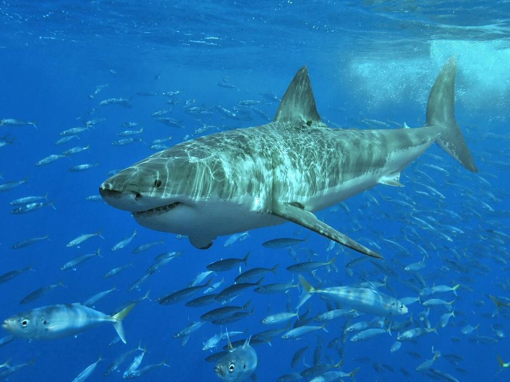 A photo of a Great White Shark underwater surrounded by a school of fish