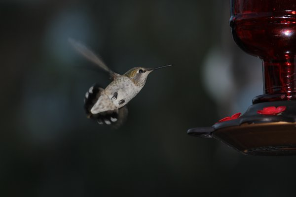 Last call for hummingbird nectar thumbnail