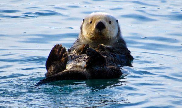 Otter in Cordova, Alaska thumbnail