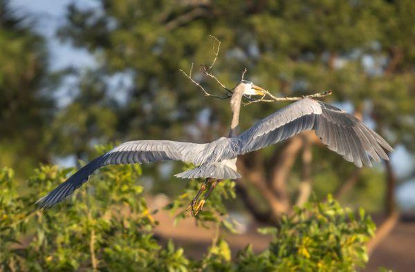 Great Blue Heron nest building thumbnail