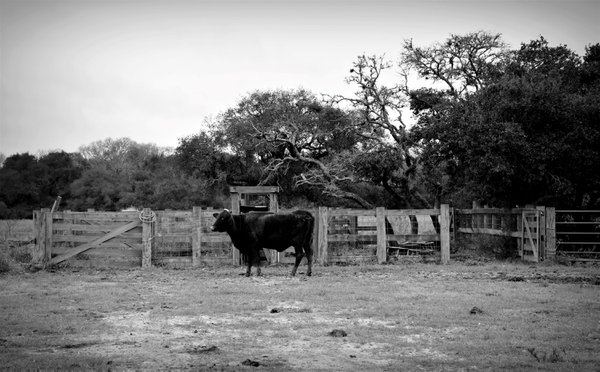 Cow in Black and White thumbnail