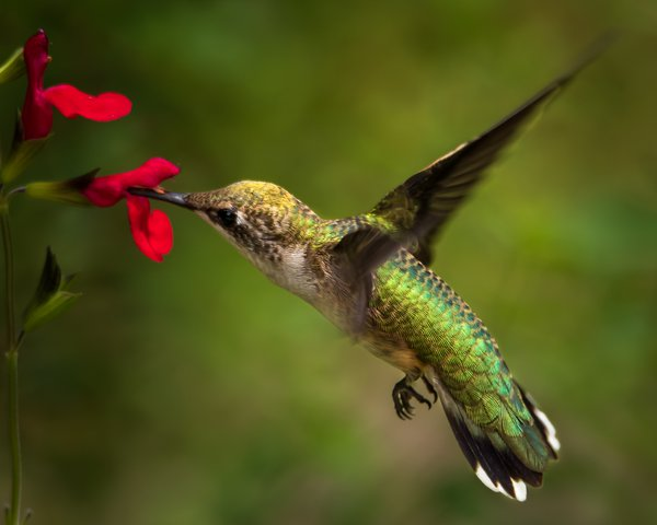 Humming Bird feeding on Hot Lips flower. thumbnail