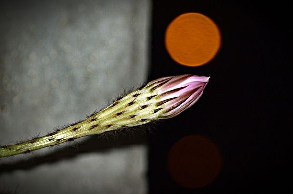 Cactus Flower thumbnail