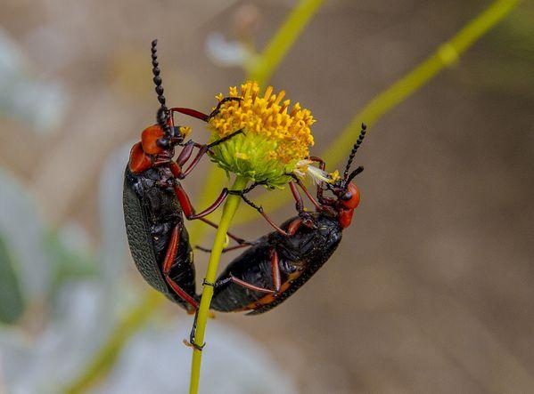 Master Blister Beetle - Lytta Magister thumbnail