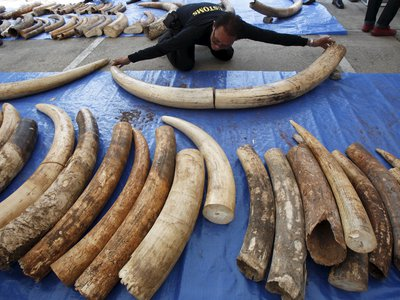 A customs officer in Thailand examines specimens from a three ton ivory seizure, estimated to be worth $6 million.