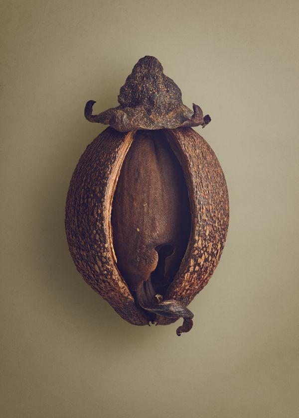 Indonesian Kapur (Dryobalanops oblongifolia) thumbnail