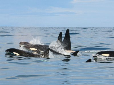 Killer whales are among the oceans' top predators. But in Iceland, pilot whales have them running scared.