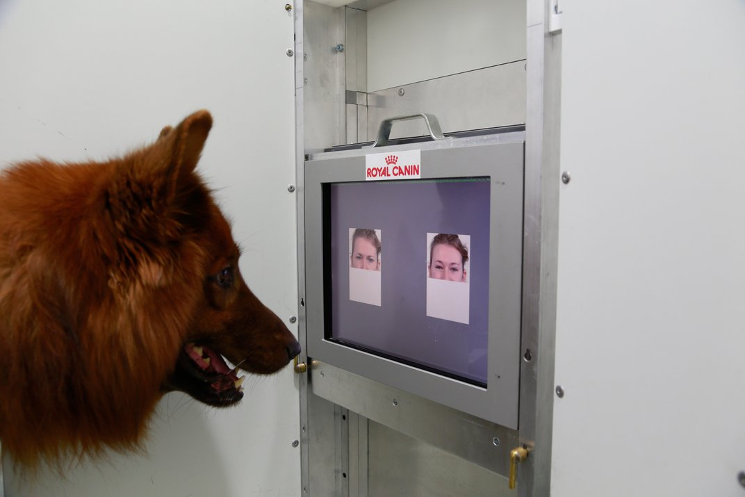 A canine research subject differentiates between angry and happy eyes. Photo: Anjuli Barber, Messerli Research Institute
