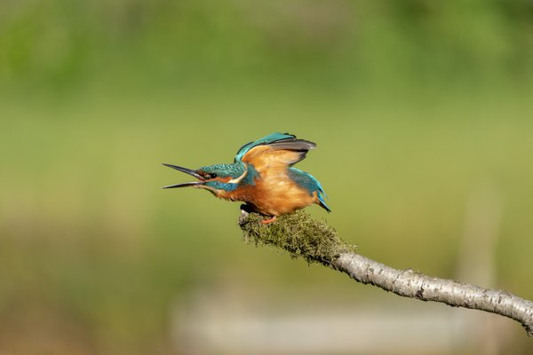 Male Kingfisher thumbnail