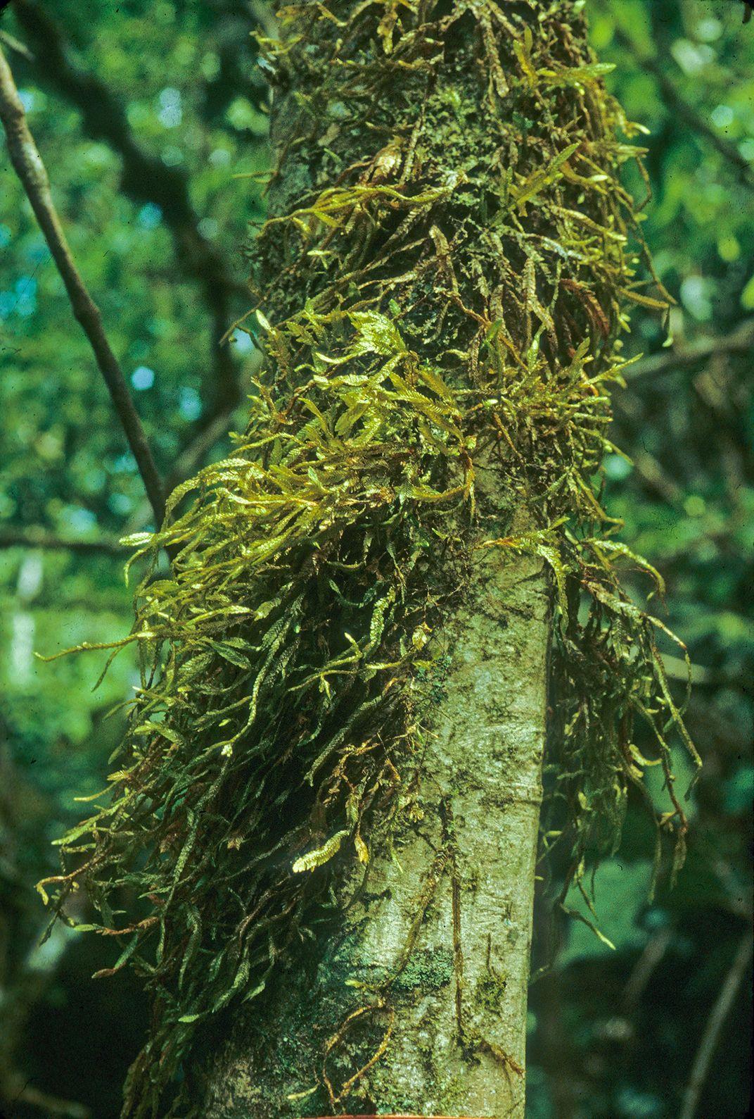 Phyllogonium, a hanging moss, in Panama