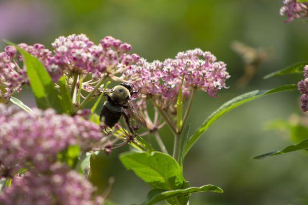 Tenacious Endangered Bee thumbnail