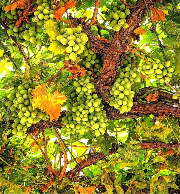 Grapes and Vines thumbnail