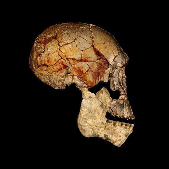 The 1972 Homo rudolfensis skull