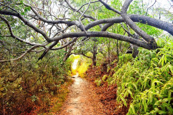 Tree Tunnel on the Waimea Cayon Trail thumbnail