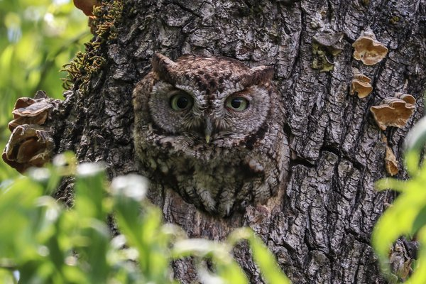 Western Screech Owl camouflaged in curly willow thumbnail