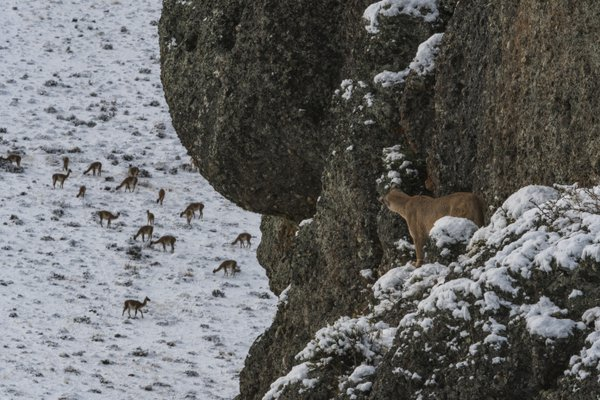 puma stalking a herd of guanaco thumbnail