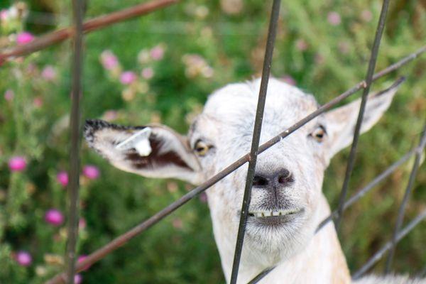 Goofy Goat thumbnail