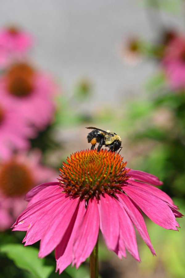 Bee Carrying Pollen Basket thumbnail
