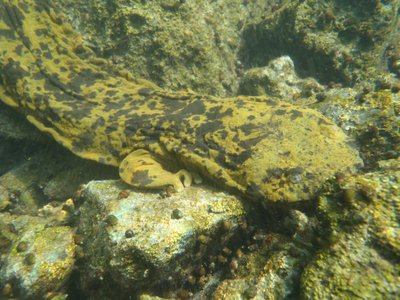Meet the Ozark hellbender, an elusive creature that has become only more so as of late.
