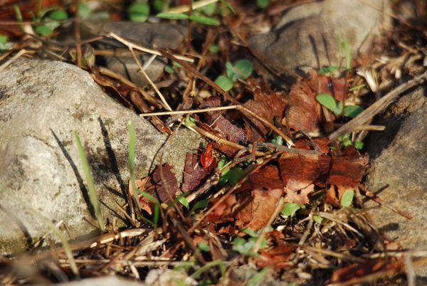 Camouflaged beetle thumbnail