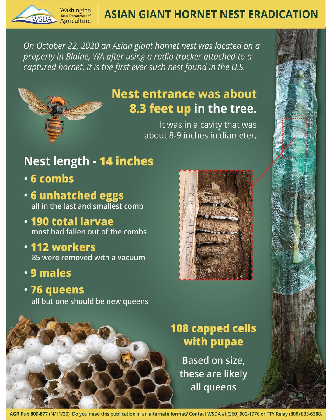 Asian Giant Hornet Nest May Have Contained 200 Queens