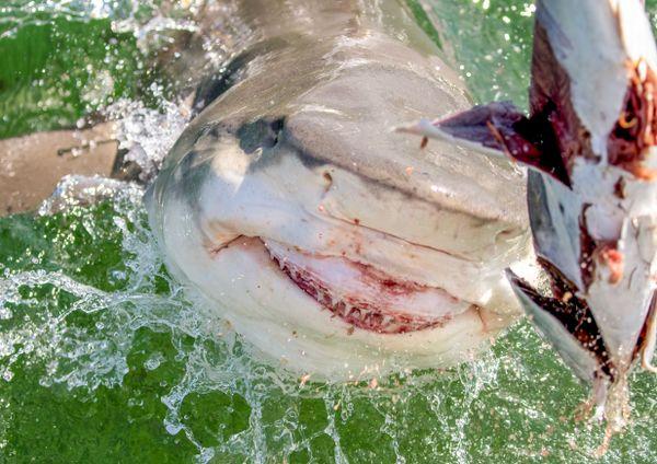 Shark Bait thumbnail
