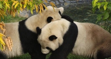 Tune into the National Zoo's newly reinstalled panda cams and watch Mei Xiang and Tian Tian any time of day.