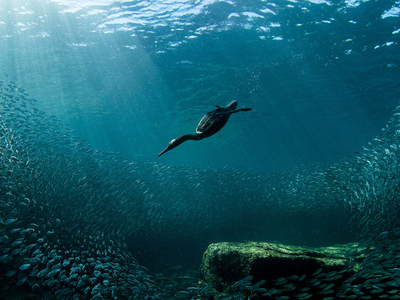 A double-crested cormorant dives into blue-green water.