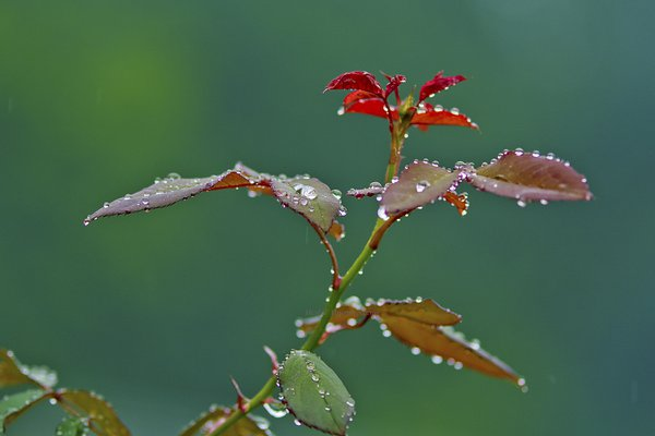 Dews on rose leaves  thumbnail