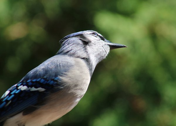 Blue Jay Thinking Deeply About the World thumbnail