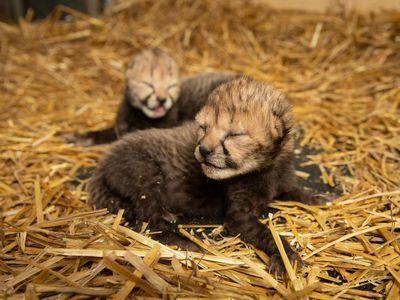 The first two cheetah cubs born via embryo transfer