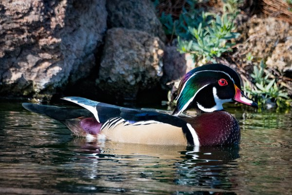Wood Duck thumbnail