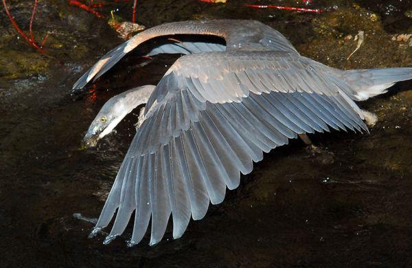 Diving for Dinner: A Blue Heron makes an autumn catch thumbnail