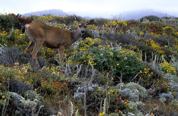 Mule Deer, Point Lobos State Reserve thumbnail