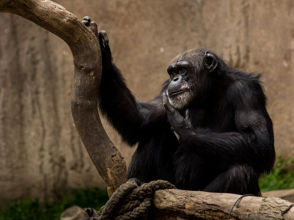 A single chimpanze is sitting near the limb of a tree. One of the chimpanzee's hands rests on the tree, and the other rests under it's chin.