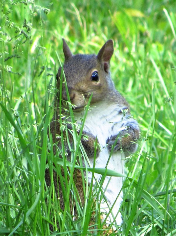 Grey Squirrel thumbnail