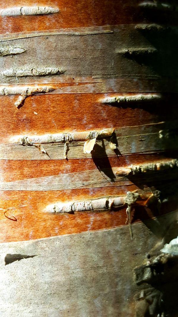 Birchbark thumbnail