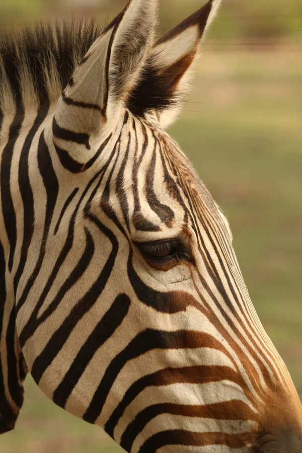 Stripes of Distinction thumbnail