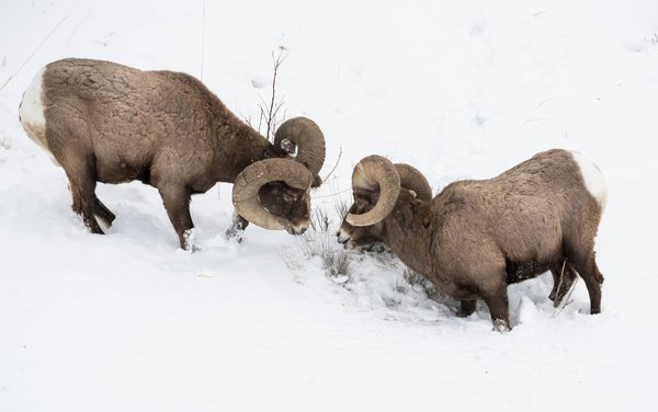 Big horn sheep face off thumbnail