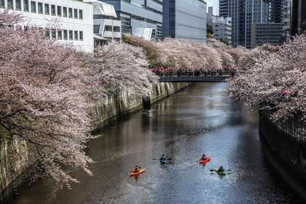 Kayakers admire the Cherry Blossoms along the Meguro Canal thumbnail