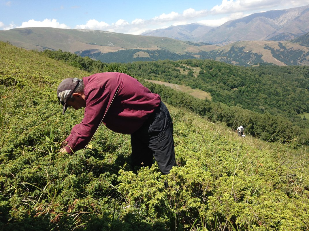 Mapping Armenia's Edible Landscape, One Wild Bilberry Bush at a Time
